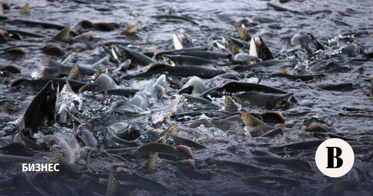 «Русская аквакультура» получила убыток из-за лососевых вшей